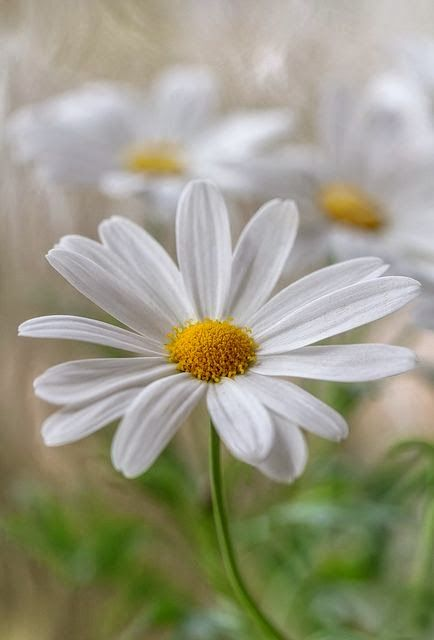 White daisies are perfect in any white garden. Their simplicity adds charm and elegance.
