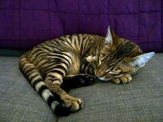 Pictures of Toyger Cat Breed