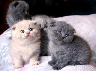 Le Scottish Fold : le nounours aux oreilles pliées - Adorables petits ... - See more stunning scottish fold cat picture at catincare.com!