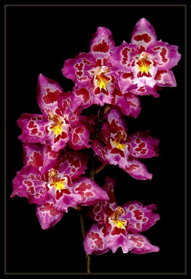 ¤ Orchids ¤ -
