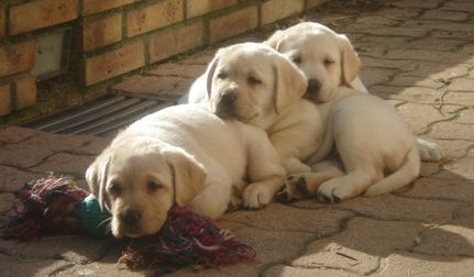 LABRADOR Puppies Vanilla and Calie