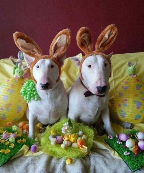 Bull terriers? No! Bunny terriers! Adorble dogs in Easter costumes.