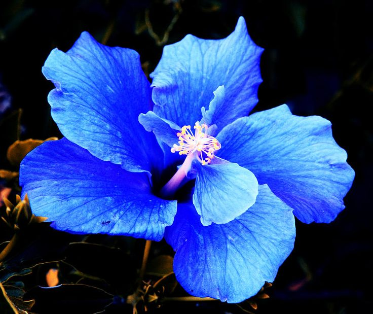 blue hibiscus flower -