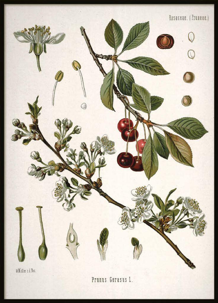Vintage poster Cherry   Botanical Prints Online