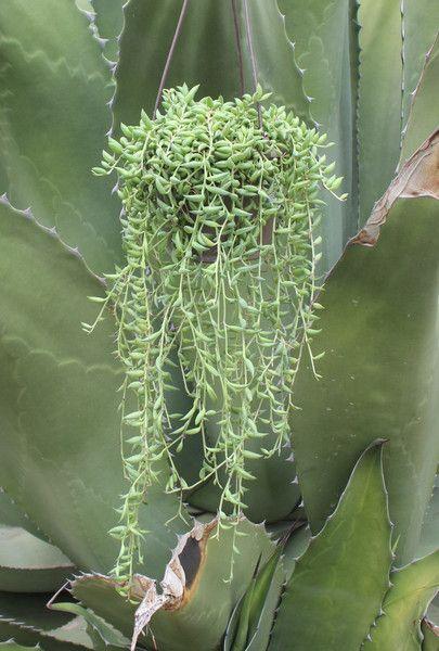 Hanging string of bananas low maintenance plants round for Low maintenance indoor hanging plants