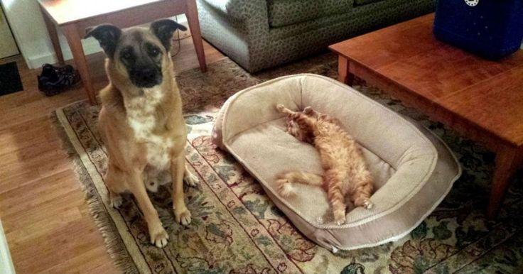 20 αναιδέστατες γάτες που έκλεψαν τα κρεβάτια των σκύλων και το.. απολαμβάνουν Crazynews.gr