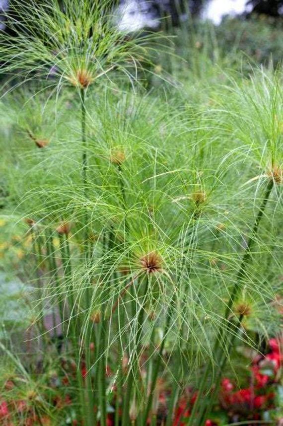 Ship in 1 gal Pot 1 Plants 1  feet Long Dwarf Papyrus Cyperus papyrus /'Dwarf Form/'