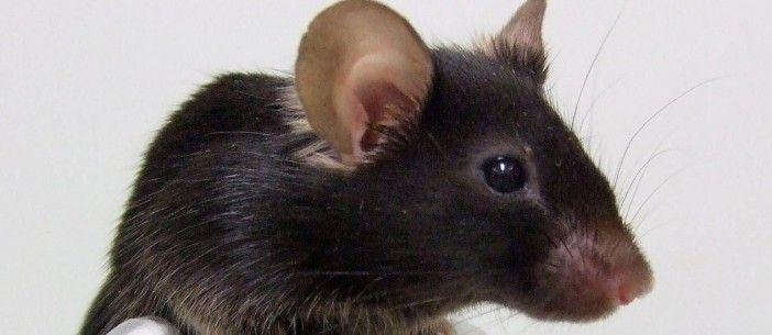"""Camundongo recebe células humanas no cérebro e se torna """"mais inteligente http://angorussia.com/noticias/mundo/camundongo-recebe-celulas-humanas-no-cerebro-e-se-torna-mais-inteligente/"""