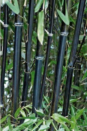 Bambou noir; plus tendance !