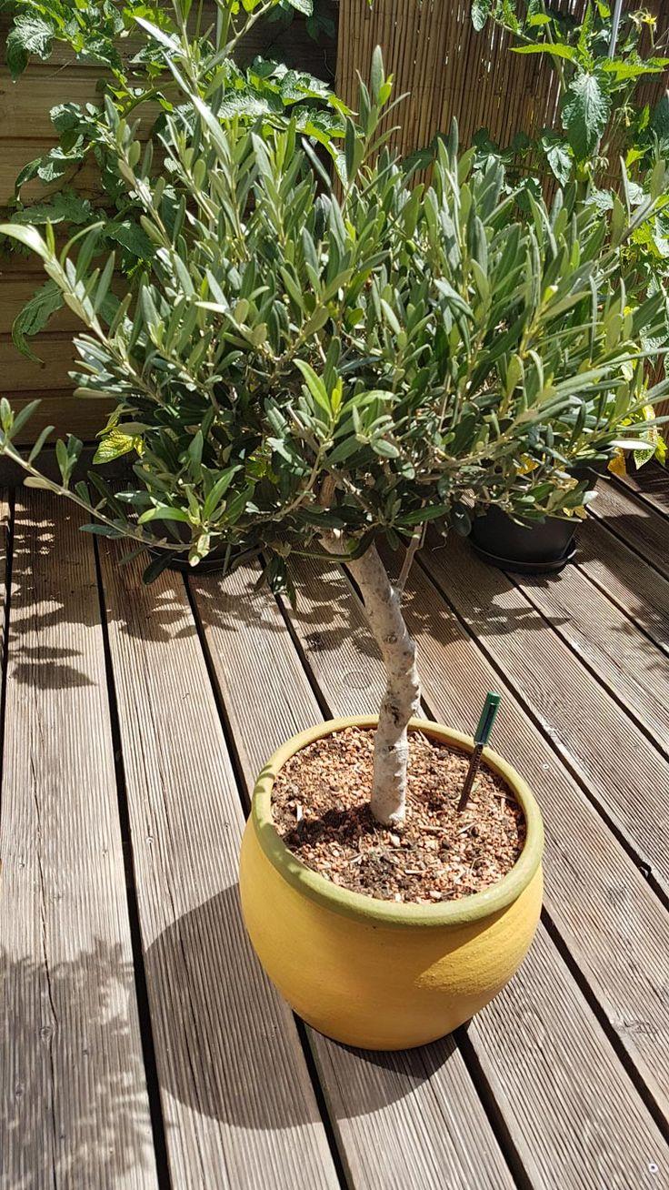 Olivenbaum im Topf - Tipps für die Pflege, den Standort und die Überwinterung von Olivenbäumen auf Balkon oder Terrasse.