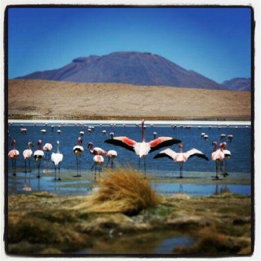 Andean Flamingo>> Salar de Pedernales in the Atacama Region of Chile