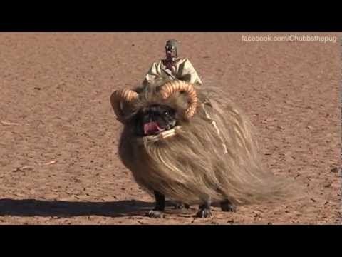Bantha Pug!