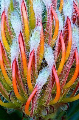 Leucospermum/Pincushion flower.