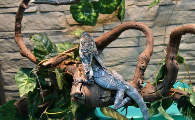 エリマキトカゲの特徴と飼育方法について紹介 襟巻がある理由や性格 飼育の注意点は Woriver エリマキトカゲ トカゲ ペット トカゲ