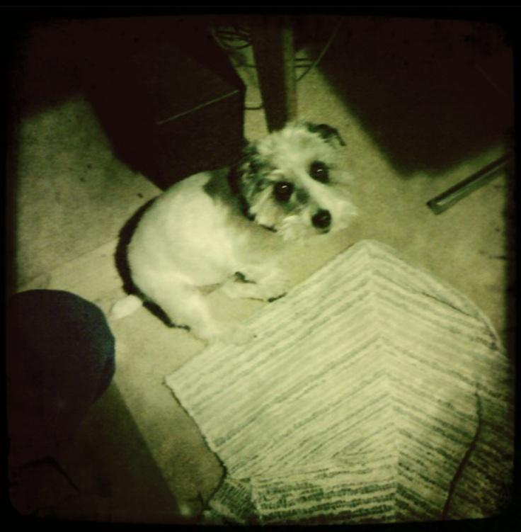 lucas terriers - the mischief in my 3 lucas terries reminds me of me.