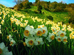 Нарциссы Поля Цветы
