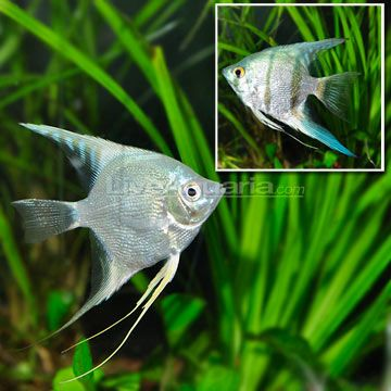1000 images about tropical fish on pinterest cichlids for Blue freshwater fish
