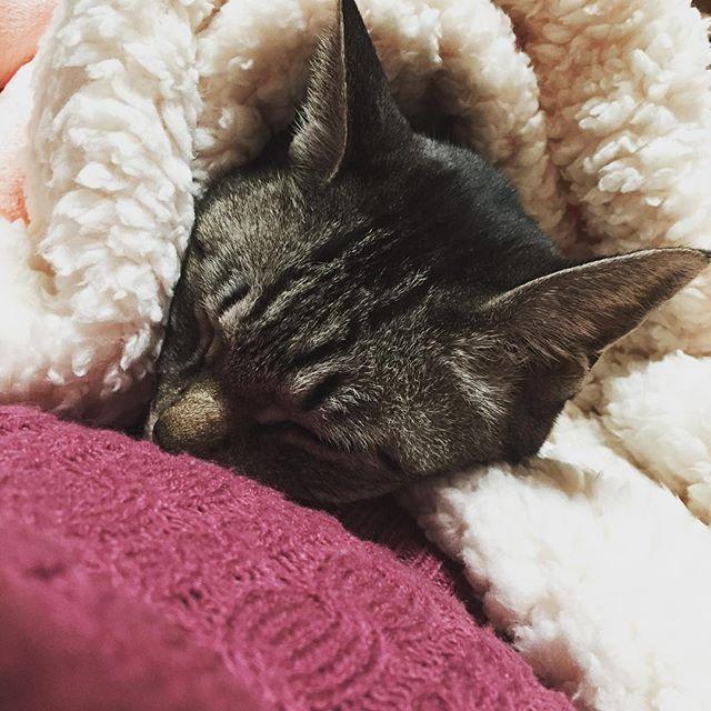 コストコの掲示板に投稿されていたシャーパのひざ掛け。 大判で、毛布としても使えそう。 モフモフが大好きなアルテミスは、私の膝の上で早速ぬくぬくしてます。  これは、良い買い物をしましたよ。  #ネコ#猫#ねこ#飼い猫#愛猫#かわいい#自慢の猫#cat #コストコ#costoco #kitten #kitty #kittens #pet #pets #animal #animals #petstagram #petsagram#catoftheday#ilovemycat#instagramcats#nature#catoftheday#lovecats#sleeping#lovekittens #adorable #catloverkyinyon2016/03/01 01:30:39