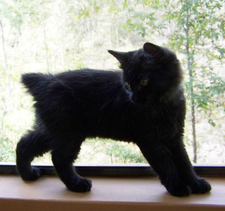American Bobtail cat. This doesn't look like my cat but the tail is exactly how Westen's is