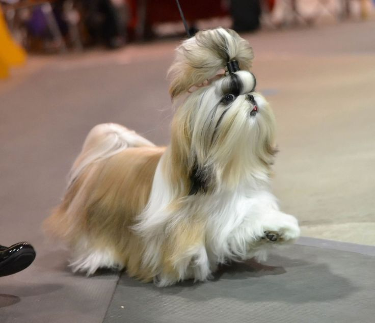 show me a shih tzu 17 best ideas about shih tzu on pinterest shih tzu puppy 301
