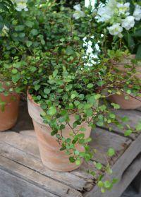 Kärt växt med många namn – slideranka, plättar i luften eller Muelenbeckia.