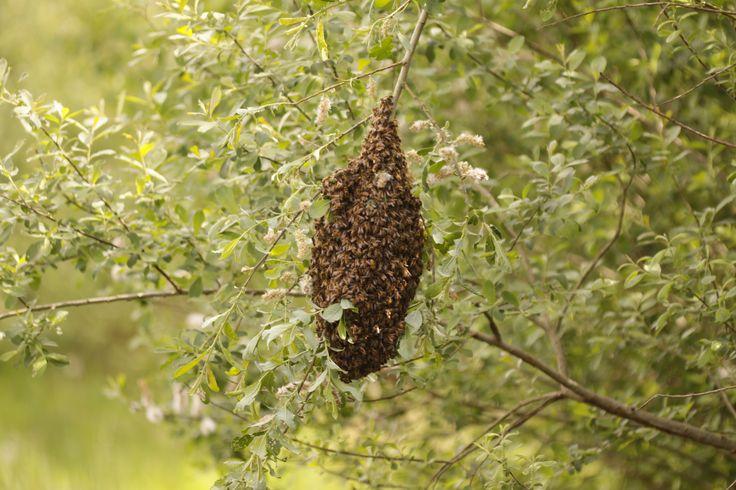 2014 05 05 zwerm honingbijen