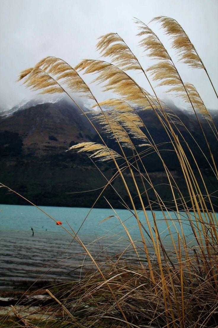 Austroderia splendens #austroderiasplendens #plant #tree #water #lake #photography #nature #landscape #moutains #snow #Glenorchy #queenstown #nz #newzealand