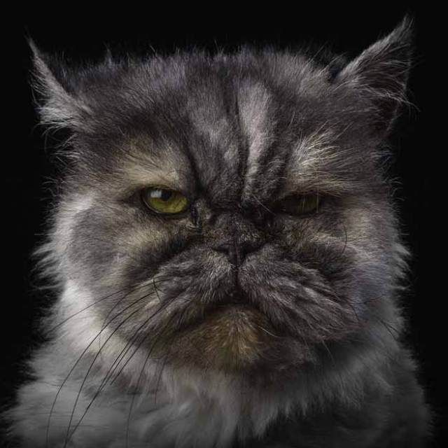 17 Breeds of Cat That You Never Knew Existed - Persian Cat