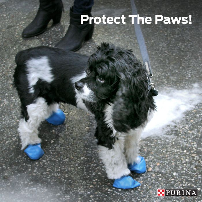 Winter dog safety tip: Protect your dog's paws from the salt on the concrete by wearing dog booties!
