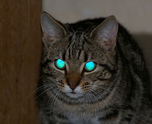 eyeshine from a cat's tapetum lucidum