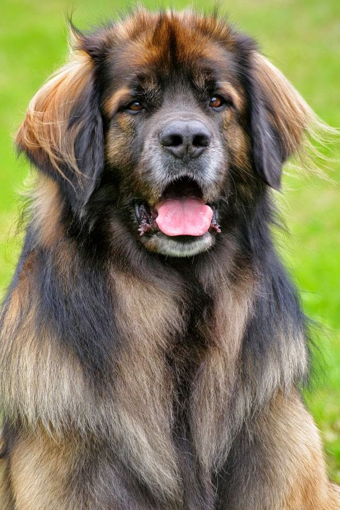 The Leonberger is a giant dog breed. The breed's name ...