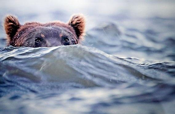 bear - vincent munier