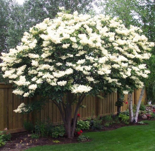 """Ivory Silk Japanese Lilac tree"""