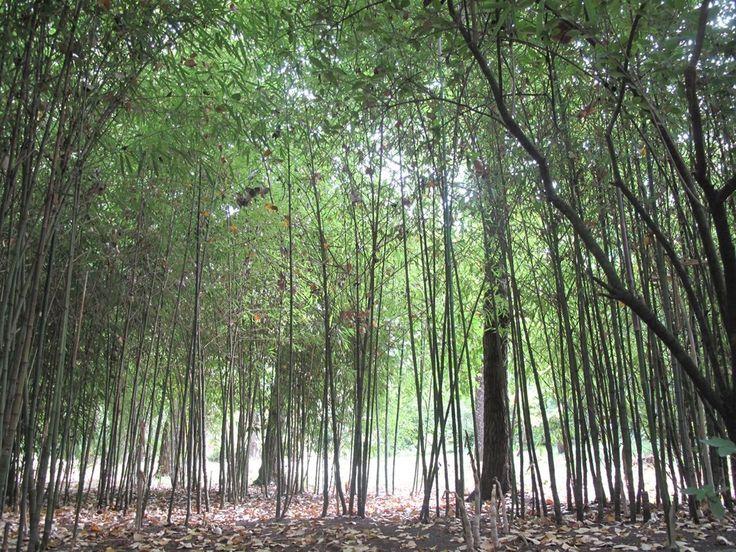 Bosque de Bambu - Los Angeles #Chile By Beatriz Jofre