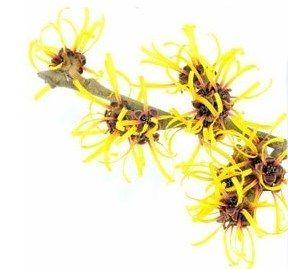 Hamamélis #flowers #yellow #cosmetic