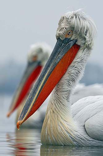 Dalmatian Pelicans, Lake Kerkini, Greece by Jari Peltomäki