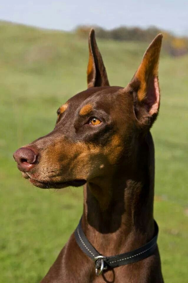 Brown #Doberman | Crazy about #Dobermans | Pinterest ...