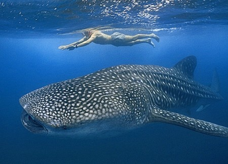 Whale Shark watching at Donsol, Sorsogon