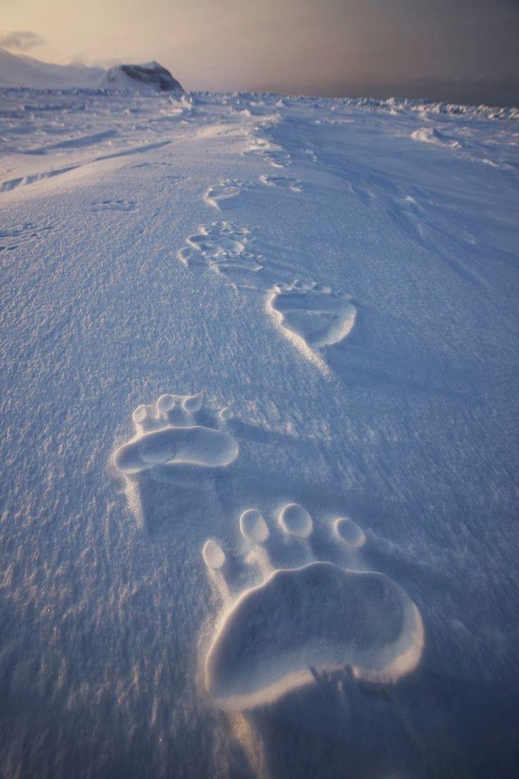 National Geographic Polar Bear Tracks