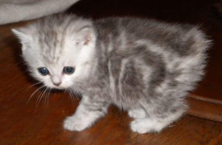 manx cats | Manx Kittens | manxstation.com