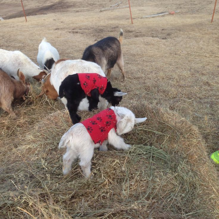 35 best images about Baby Goats in Sweaters on Pinterest ...