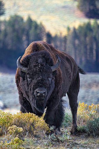 Regal Bison