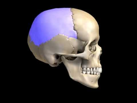 Human Skull Bones Video - Cranial and Facial Bones Structure...so much easier to visualize the inner bones of the nasal canal