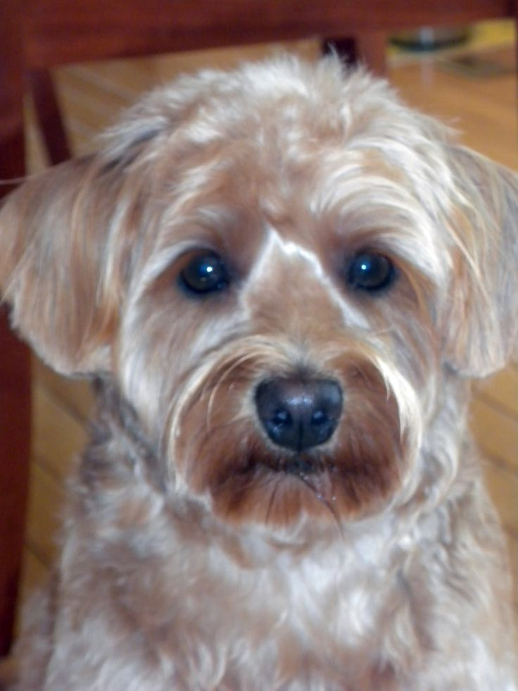 schnoodle haircut pictures | Schnoodle Haircut Photos