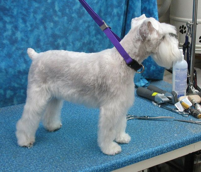 Head grooming - Small White Schnauzer by Groomer Goddess, via Flickr