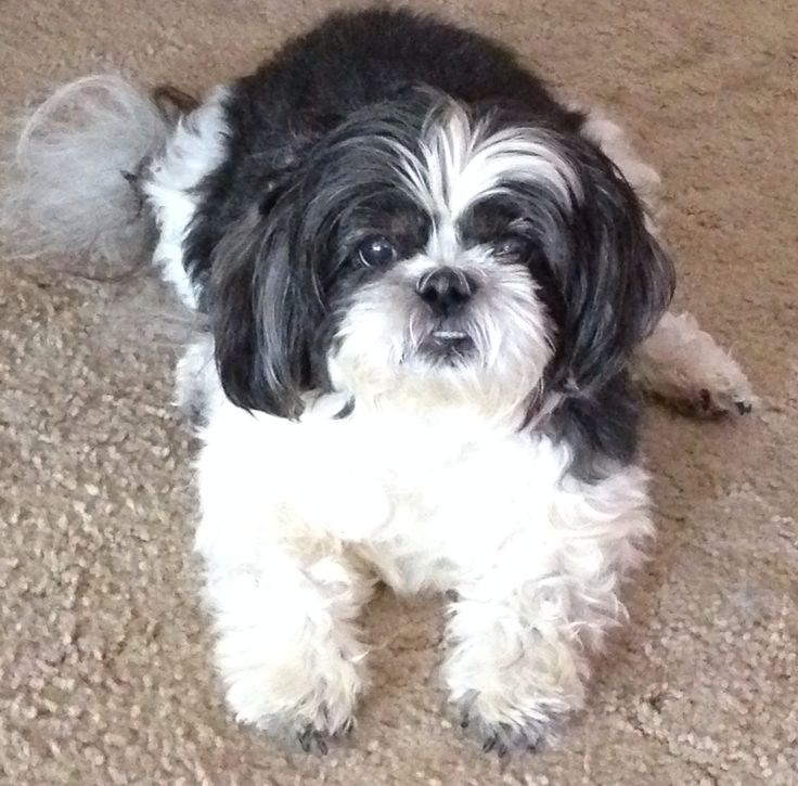 angelbaby shih tzu 17 best images about shih tzu pets on pinterest animals 8013