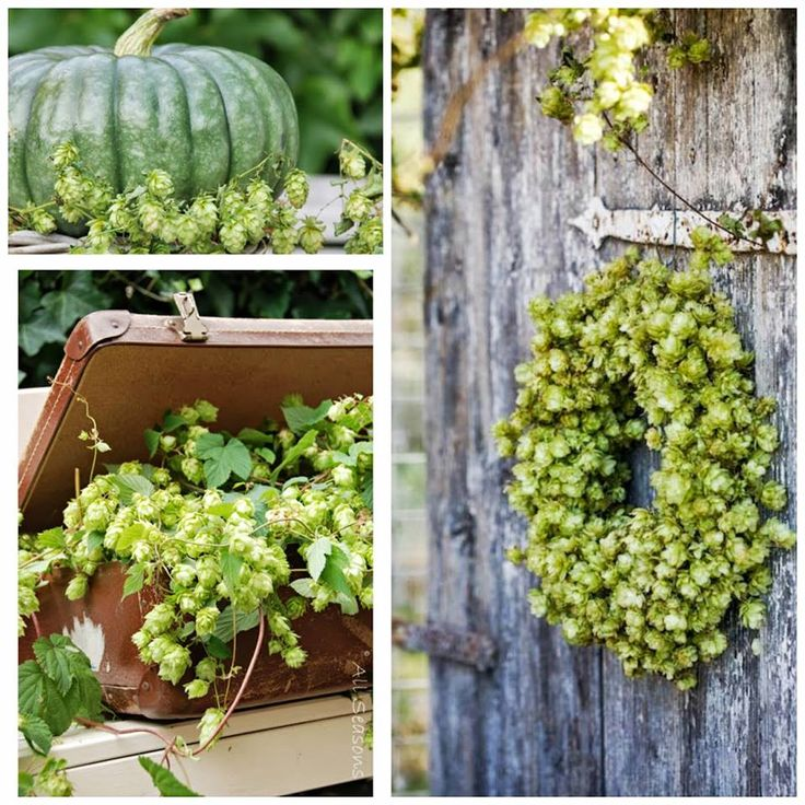 Hop in overvloed. Prachtige decoratie voor het najaar.. All Seasons