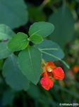 Jewelweed flower, orange Jewelweed, wild touch me nots, natural poison ivy cure, treatment