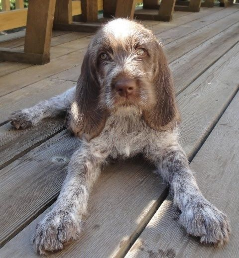 Spinone Italiano / Italian Griffon #Puppy #Dog