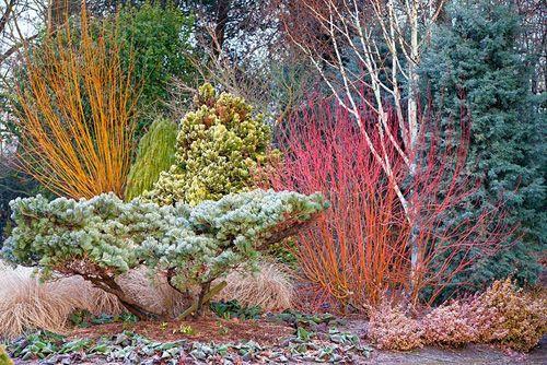 Border at The Winter Garden, Bressingham Gardens, Norfolk, UK. Pinus strobus 'Reinshaus', Cornus sericea 'Cardinal', Betula 'Grayswood Ghost', Chamaecyparis lawsoniana 'Aurea Densa', Cupressus arizonica var. glabra 'Blue Ice', Bergenia, Pennisetum alopecuroides 'Hameln', Salix alba var. 'Vitellina' Britzensis, Platycladus orientalis 'Aurea Nana', Euonymus fortunei 'Emerald and Gold'